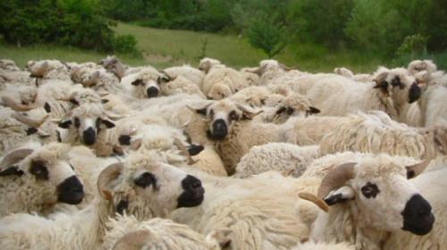 polemia-moutons-588x330.jpg
