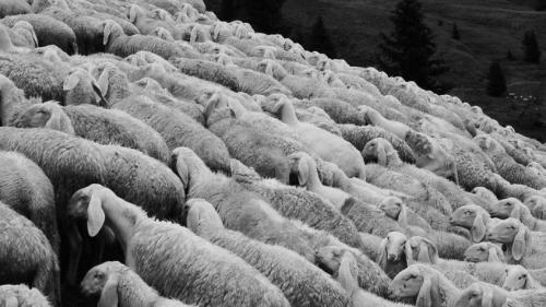 sheep-2290512_960_720-845x475.jpg