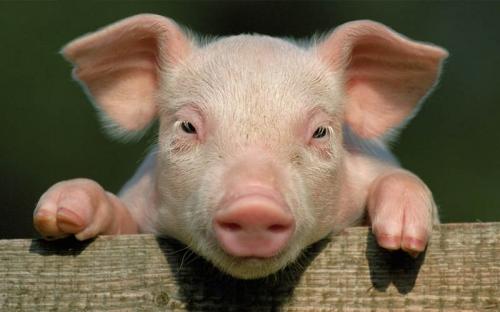 un-hybride-mi-humain-mi-porc-cree-laboratoire.jpg